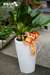 橙葉盆栽06