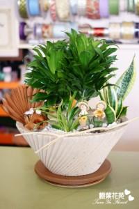 橙葉盆栽09