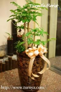 橙葉盆栽15